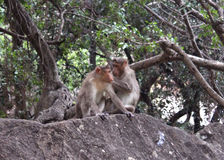 Lustige Affen auf dem Felsen Lizenzfreies Stockfoto