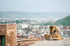 Lustige Affen, die nahe Galta-Tempel in Jaipur, Indien sich pflegen Stockfotografie