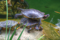 Lustige akrobatische Schildkröten Stockfoto