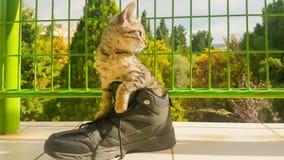 Lustige Babykatze innerhalb eines Schuhes stock video