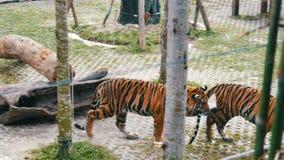 Lustige Bisse des Tigers ein Endstück eines anderen Tigers stock video