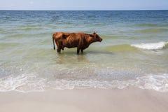 Lustige braune Kuh steht im Meer an einem sonnigen Tag nahe durch Meer Lizenzfreies Stockfoto