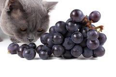 Lustige Britisch Kurzhaar-Katze riecht Gruppe von blauen Trauben Stockfoto