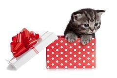 Lustige britische Schätzchenkatze im roten Geschenkkasten Stockbild