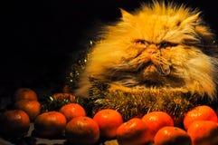 Lustige flaumige rote Katze mit Tangerinen auf neuem Jahr stockfoto