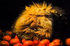 Lustige flaumige rote Katze mit Tangerinen auf neuem Jahr lizenzfreie stockbilder
