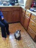 Lustige Gesichter von George die boshafte Mainecoon-Katze Lizenzfreie Stockfotografie