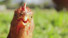 Lustige Gesichtsausdrücke des Hahnes stock footage