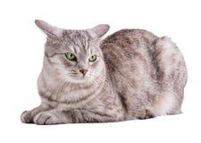 Lustige gestreifte graue Katze lokalisiert auf weißem Hintergrund Stockbild
