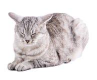 Lustige gestreifte graue Katze lokalisiert auf weißem Hintergrund Lizenzfreies Stockbild