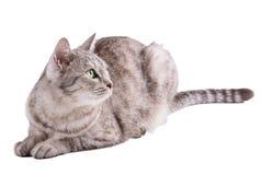 Lustige gestreifte graue Katze lokalisiert auf weißem Hintergrund Lizenzfreie Stockfotos