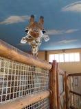 Lustige Giraffe Lizenzfreies Stockfoto