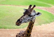 Lustige Giraffe im biopark von Valencia Stockfotografie