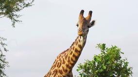 Lustige Giraffe mit einem kleinen Vogel, der Blätter kaut stock footage