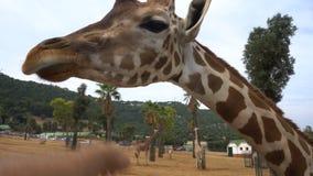 Lustige Giraffenkopfporträtaufnahme Das Giraffe Ungulatesäugetier, das höchste lebende terrestrische Tier und das größte stock footage