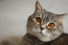 Lustige graue Katze bittet um Lebensmittel lizenzfreie stockbilder