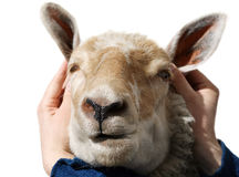 Lustige Häschen-Schafe Stockfoto
