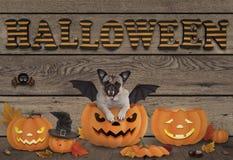 Lustige Halloween-Schläger Pughunde- und -kürbislaternen auf hölzernem Hintergrund mit Buchstaben Halloween Lizenzfreies Stockfoto