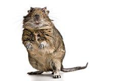 Lustige Haustier degu Maus mit den gelben Zähnen lizenzfreies stockbild