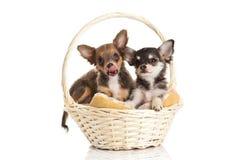 Lustige Hunde im Korb auf weißem Hintergrund Stockbilder