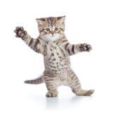 Lustige Kätzchenkatzenstellung oder -tanzen lokalisiert lizenzfreie stockbilder