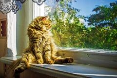 Lustige Katze der getigerten Katze nahe dem Fenster aalend in der Sonne Stockbild