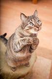 Lustige Katze, die um einen Imbiß bittet Stockbild