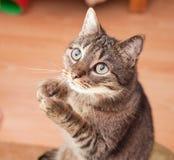 Lustige Katze, die um einen Imbiß bittet Stockfoto