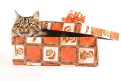 Lustige Katze im Kasten auf Weiß Stockfotografie