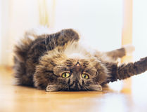 Lustige Katze liegt sich entspannte auf seinem Rückseite und das Schauen spielerisch in die Kamera Stockfotografie