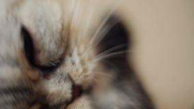 Lustige Katze wäscht sich nach einer Dusche, Makro stock footage