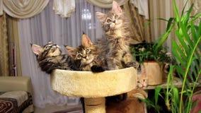 Lustige Katzen Maine Coons stock video