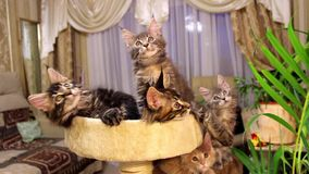 Lustige Katzen Maine Coons stock footage