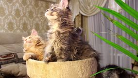 Lustige Katzen Maine Coons stock video footage