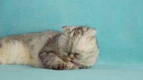 Lustige Katzenwäschen nach einer Dusche stock video footage