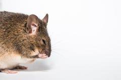 Lustige kleine braune Maus Stockbilder