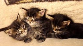 Lustige kleine Kätzchen Maine Coon stock footage