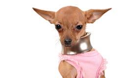 Lustige kleiner Hundetragende Halskette stockfotos