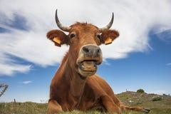 Lustige Kuh lizenzfreie stockbilder