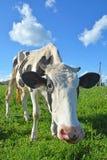 Lustige Kuh Stockbild