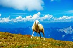 Lustige lächelnde Schafe auf schöner wilder Wiese mit Berglandschaft auf Hintergrund Lizenzfreie Stockfotos