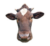 Lustige nette beschmutzte Kuh lokalisiert auf Weiß Schwarzweiss-Kuhmündungsabschluß oben Lustige neugierige Kuh Lizenzfreies Stockfoto