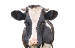 Lustige nette Kuh lokalisiert auf weißem Hintergrund Den neugierigen Kuhschwarzweiss-abschluß der Kamera oben betrachten Lizenzfreies Stockfoto