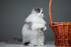 Lustige persische Katze, die nahe Korb auf Grau sitzt Stockfoto