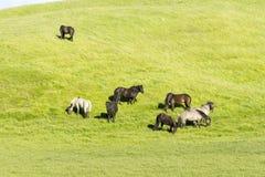 Lustige Pferde auf den Gebieten von Island lizenzfreies stockbild
