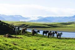 Lustige Pferde auf den Gebieten von Island stockbild