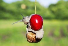 Lustige Plage der Gartenschnecke herein hängend an den reifen roten Beerenkirschen stockfotografie