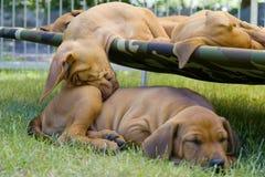 Lustige Position Schlafens des entzückenden kleinen Welpen Stockfoto