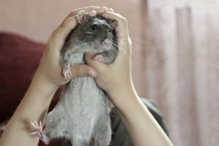 Lustige Ratte in den Händen Stockbild