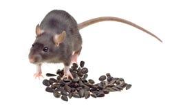 Lustige Ratte essen die Sonnenblumensamen, die auf Weiß getrennt werden Lizenzfreie Stockbilder